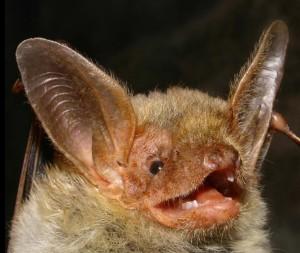 pipistrello-vespertilio-maggiore