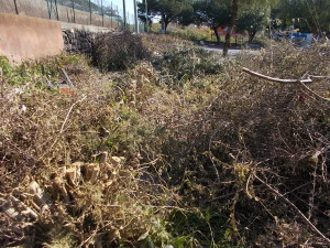 siepe-oleandro-decapitata-largo-mario-merola-29marzo2019-1