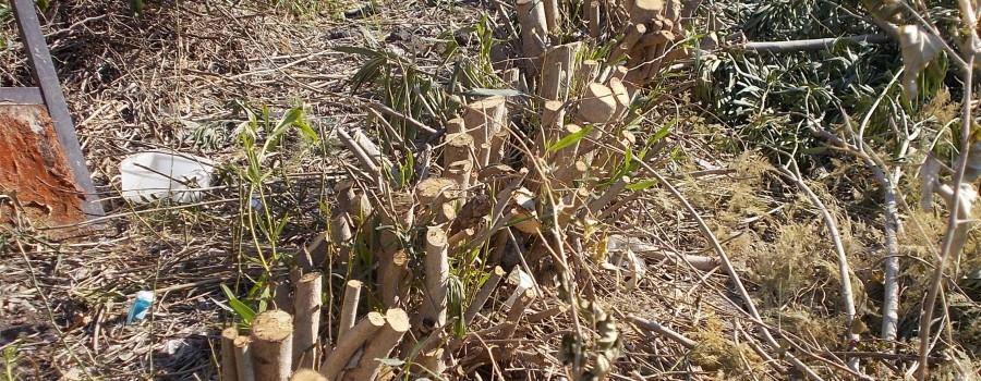 siepe-oleandro-decapitata-largo-mario-merola-29marzo2019-2