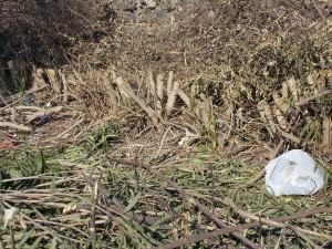 siepe-oleandro-decapitata-largo-mario-merola-29marzo2019-3