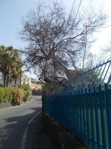 acacia-secca-scuola-calvino-via-ferro-fabiani-19aprile2020-2