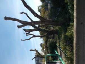 capitozzature-alberi-di-falso-pepe-policlinico-di-catania