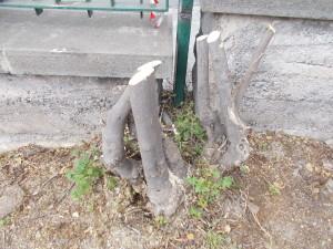 capitozzatura-siepe-bouganville-parco-gioeni-7marzo2021-11