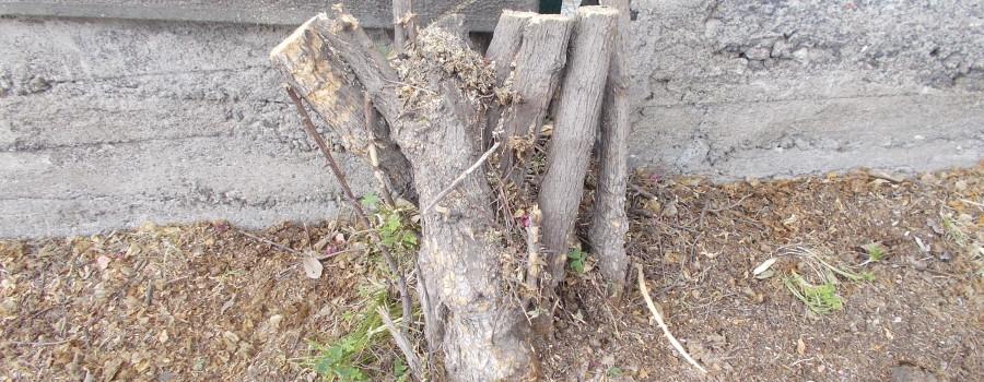 capitozzatura-siepe-bouganville-parco-gioeni-7marzo2021-12