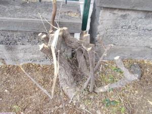 capitozzatura-siepe-bouganville-parco-gioeni-7marzo2021-14