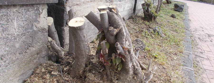 capitozzatura-siepe-bouganville-parco-gioeni-7marzo2021-17