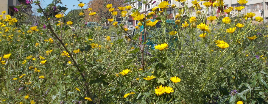 fioritura-aiuola-isola-ecologica-viale-tirreno-8aprile2021-2