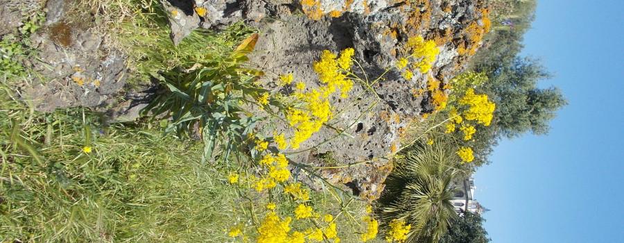 fioritura-cavulu-carammu-parco-gioeni-30marzo2021-1