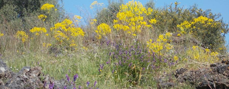 fioritura-cavulu-carammu-parco-gioeni-30marzo2021-3