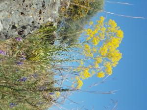 fioritura-cavulu-carammu-parco-gioeni-30marzo2021-4