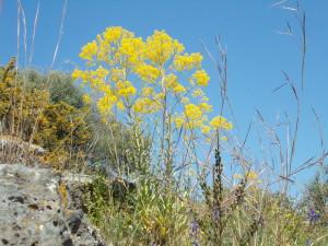fioritura-cavulu-carammu-parco-gioeni-30marzo2021-5