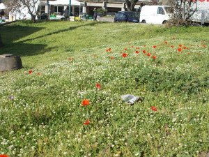 fioriture-aiuole-piazza-tivoli-canalicchio-7aprile2021-7