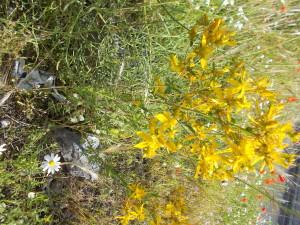 fioriture-iperico-aiuola-rotatoria-via-novaluce-7aprile2021
