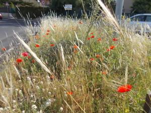 fioriture-spontanee-aiuole-rotatoria-via-novaluce-7aprile2021-7