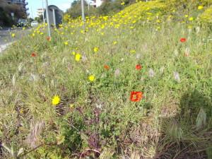fioriture-spontanee-aiuole-rotatoria-via-novaluce-7aprile2021-9