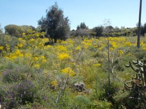 fioriture-via-santa-sofia-terreno-incolto-rotatoria-agraria-8aprile2021-4