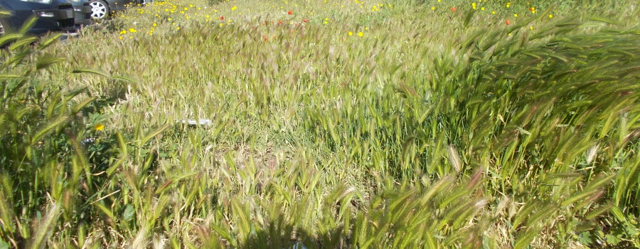 fioriture-aiuole-piazza-tivoli-canalicchio-7aprile2021-1