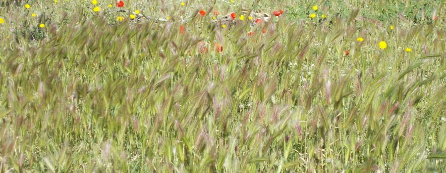 fioriture-aiuole-piazza-tivoli-canalicchio-7aprile2021-2