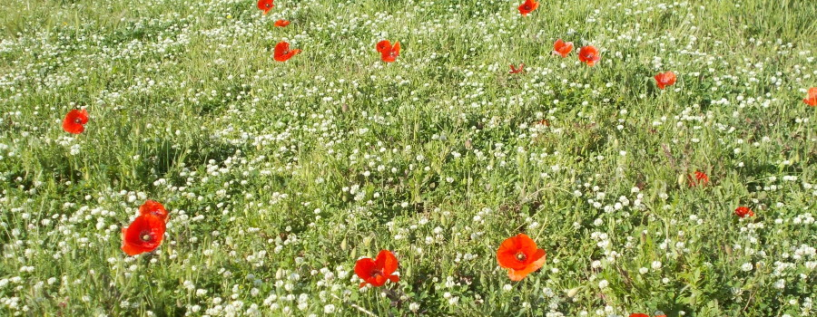 fioriture-aiuole-piazza-tivoli-canalicchio-7aprile2021-4
