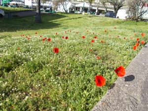 fioriture-aiuole-piazza-tivoli-canalicchio-7aprile2021-5
