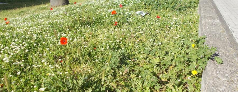 fioriture-aiuole-piazza-tivoli-canalicchio-7aprile2021-6
