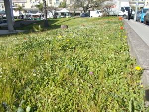 fioriture-aiuole-piazza-tivoli-canalicchio-7aprile2021-8