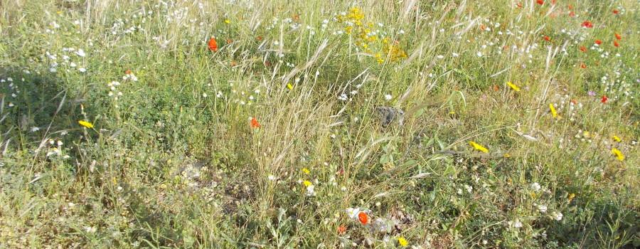 fioriture-spontanee-aiuole-rotatoria-via-novaluce-7aprile2021-1