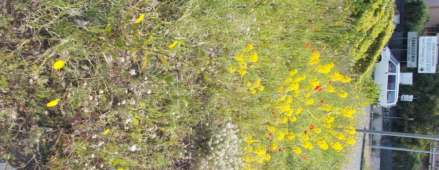 fioriture-spontanee-aiuole-rotatoria-via-novaluce-7aprile2021-10