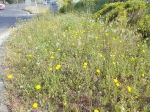 fioriture-spontanee-aiuole-rotatoria-via-novaluce-7aprile2021-11