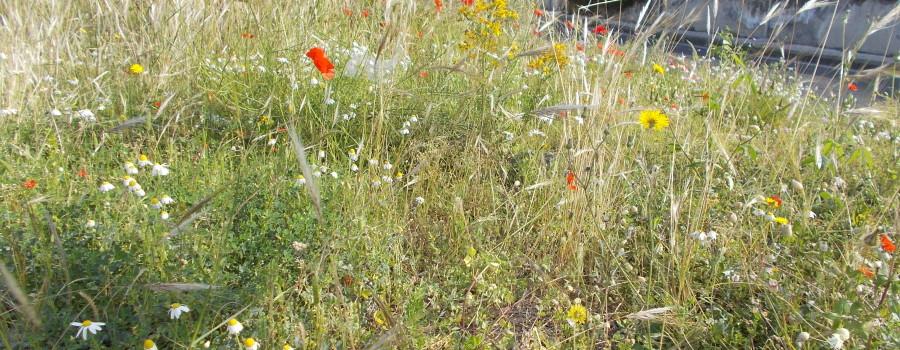 fioriture-spontanee-aiuole-rotatoria-via-novaluce-7aprile2021-13