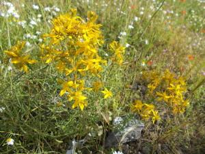 fioriture-spontanee-aiuole-rotatoria-via-novaluce-7aprile2021-2