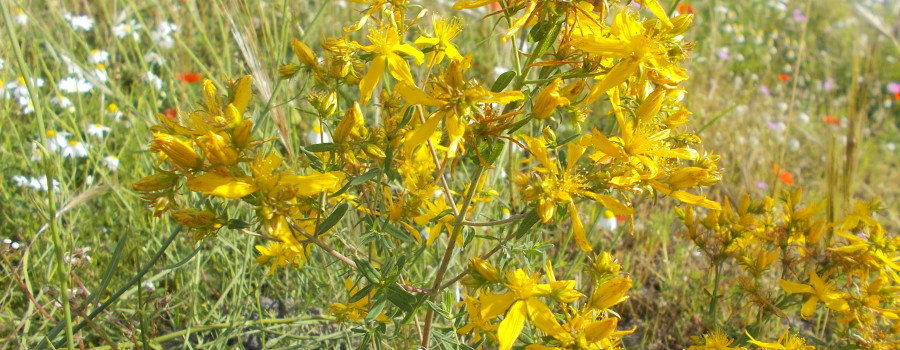 fioriture-spontanee-aiuole-rotatoria-via-novaluce-7aprile2021-4