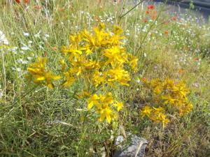 fioriture-spontanee-aiuole-rotatoria-via-novaluce-7aprile2021-5