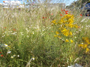 fioriture-spontanee-aiuole-rotatoria-via-novaluce-7aprile2021-6