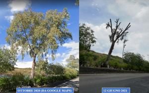 eucalipto-inizio-viale-della-costituzione-prima-e-dopo